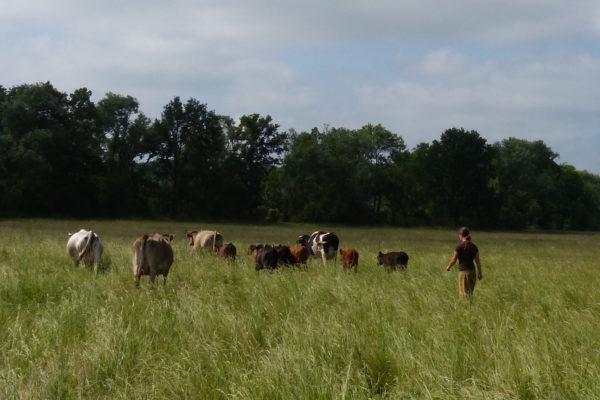 © Stolze Kuh.de Anja mit Ammen und Kälbern auf den örtlichen Weiden